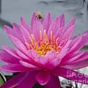 Pink Water Lily Rose Arey With Bee Poster