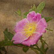 Pink Wild Rose Poster