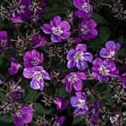 Pinkish-purple Wildflowers Geranium Poster