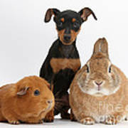 Pinscher Puppy With Rabbit And Guinea Poster