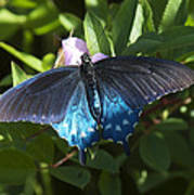 Pipevine Swallowtail Din003 Poster