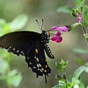 Pipevine Swallowtail  Poster