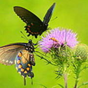Pipevine Swallowtails In Tandem Poster