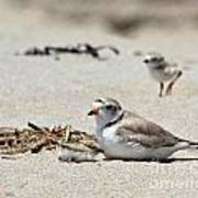 Piping Plover Mom And Two Babies Poster