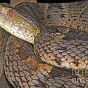 Pit Viper Poster