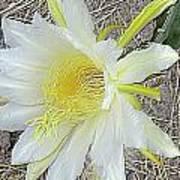 Pitaya Flower Poster