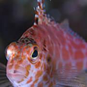 Pixy Hawkfish, Kimbe Bay, Papua New Poster