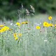 Plains Yellow Daisy Poster