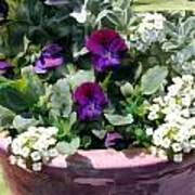 Planter Of Purple Pansies And White Alyssum Poster
