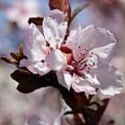 Plum Blossoms 10 Poster