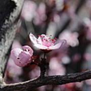 Plum Blossoms 9 Poster