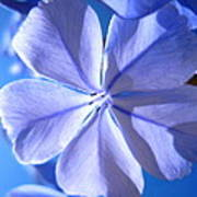 Plumbago Flowers Poster by Catherine Natalia  Roche