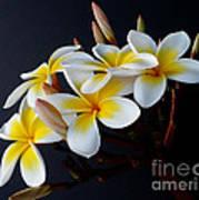 Plumeria Bouquet Poster