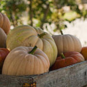 Plump And Purdy Pumpkins Poster