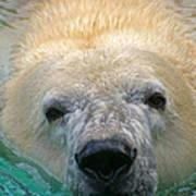 Polar Bear Swim Poster