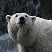 Polar Bear With Waterfall Poster