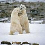 Polarbears, Churchill, Manitoba Poster