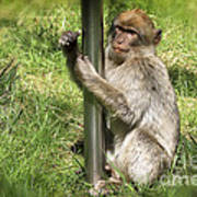 Pole Dancing Macaque Style Poster