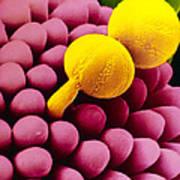 Pollen Germinating On Stigma Of Goosegrass Poster