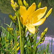 Pond Lily Poster