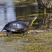 Pond Turtle Basking In The Sun Poster