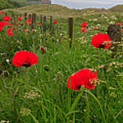 Poppies By The Roadside In Northumberland Poster