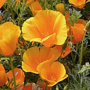 Poppies (eschscholzia Californica) Poster