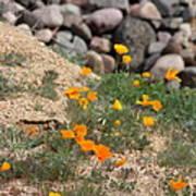 Poppies N River Rocks Poster