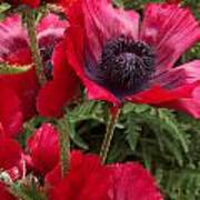 Poppies Rouge Poster
