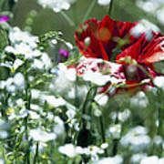 Poppy And White Flowers Poster