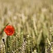 Poppy Flower In Field Of Wheat Poster