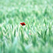 Poppy In Wheat Field Poster
