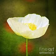 Poppy Of White Poster