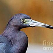 Portait Of A Little Blue Heron Poster