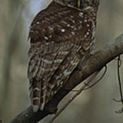 Portrait Of A Barred Owl Perched Poster