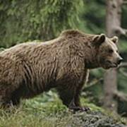 Portrait Of A Brown Bear Poster