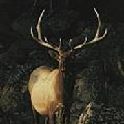 Portrait Of A Bull Elk With Large Poster by Michael S. Quinton