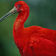 Portrait Of A Captive Scarlet Ibis Poster