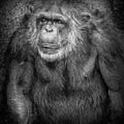 Portrait Of A Chimpanzee Poster