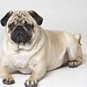 Portrait Of A Pug Dog Poster