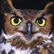 Portrait Of Great Horned Owl Poster