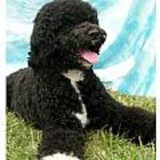 Portugese Water Dog 768 Poster