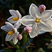 Potato Vine Blossom Poster