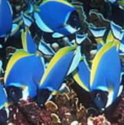 Powderblue Surgeonfish Poster