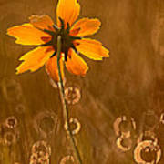 Prairie Coreopsis And Dewdrops Poster
