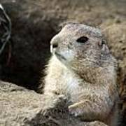 Prairie Dog Lookout Poster
