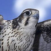Prairie Falcon In Flight Poster