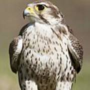 Prairie Falcon Perches On The Ground Poster