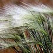 Prairie Grass, Badlands National Park Poster