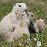 Prairie Kiss Poster